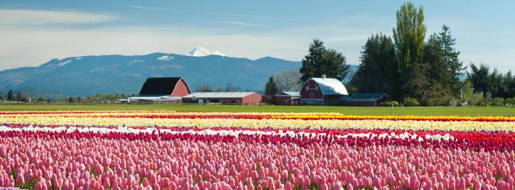 Tulip field in the foreground with red barn and mountains in the background in Skagit County, Washington