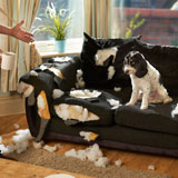 Dog looks shameful after chewing up living room couch